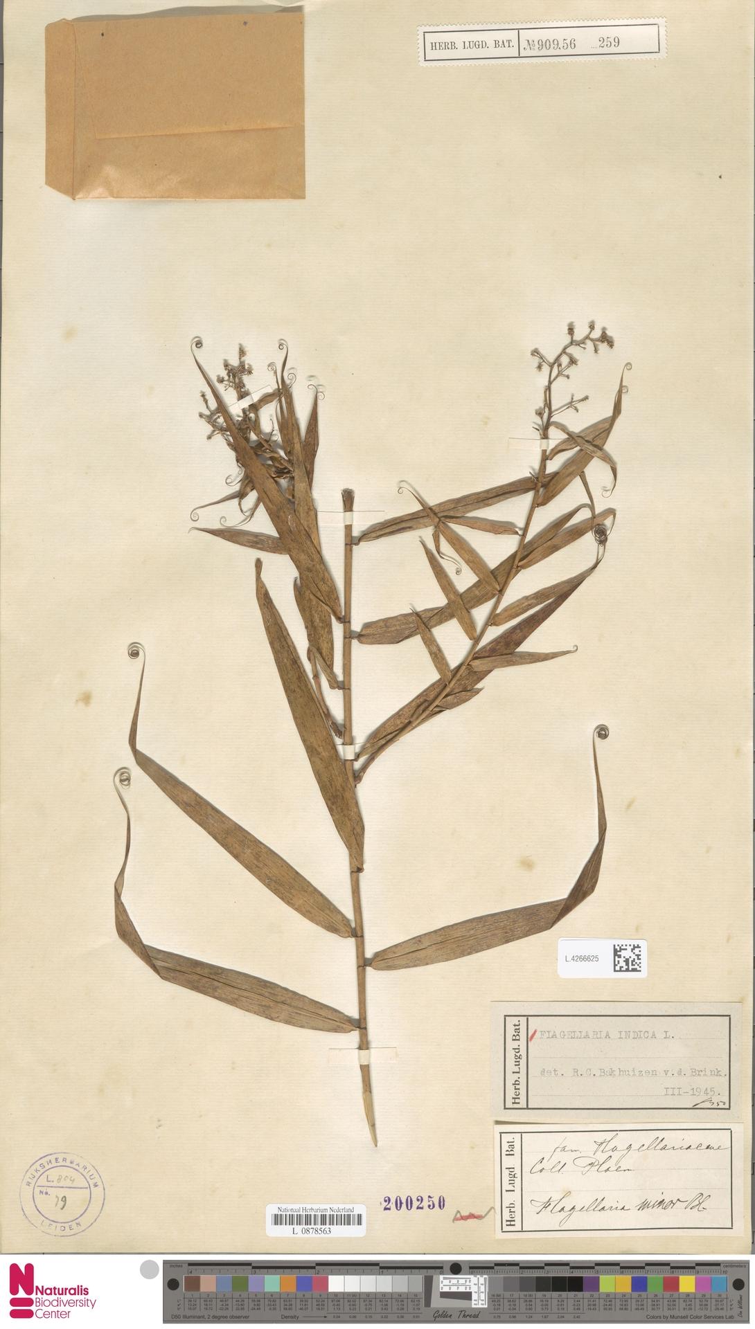 L.4266625 | Flagellaria indica L.