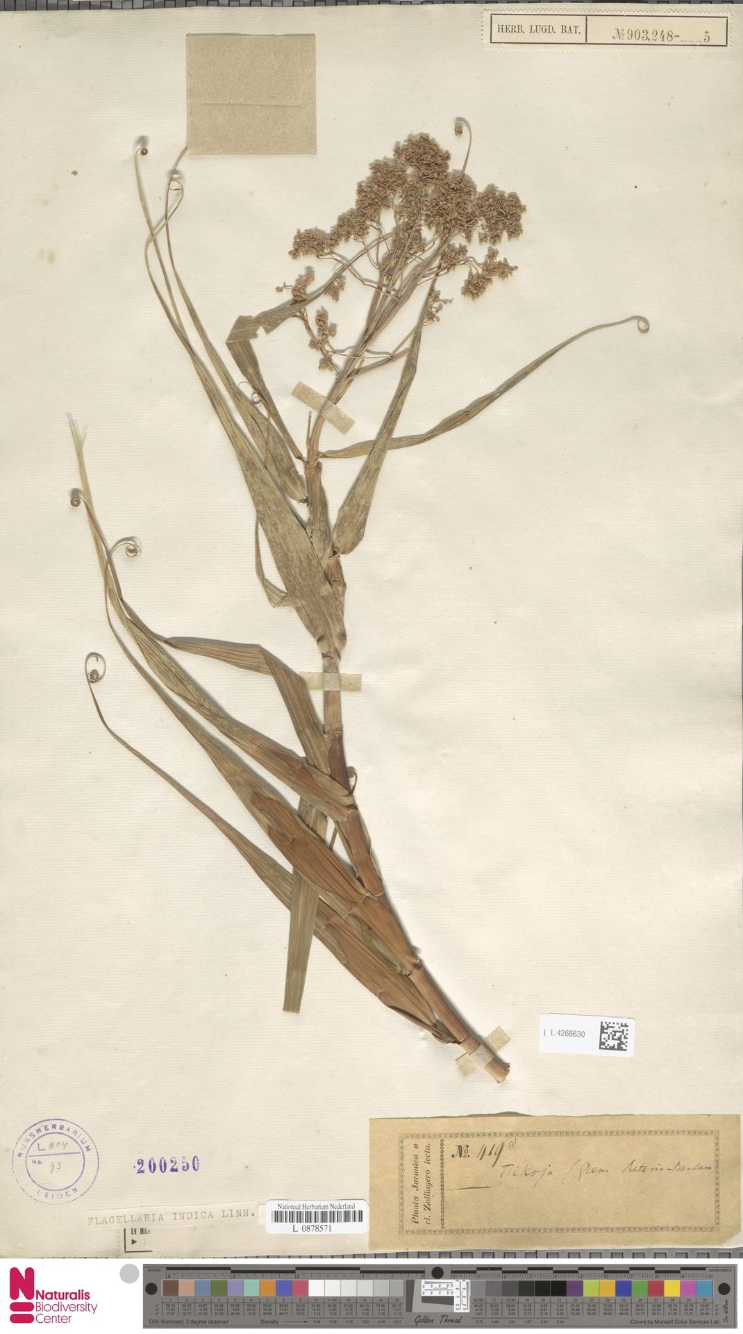 L.4266630 | Flagellaria indica L.