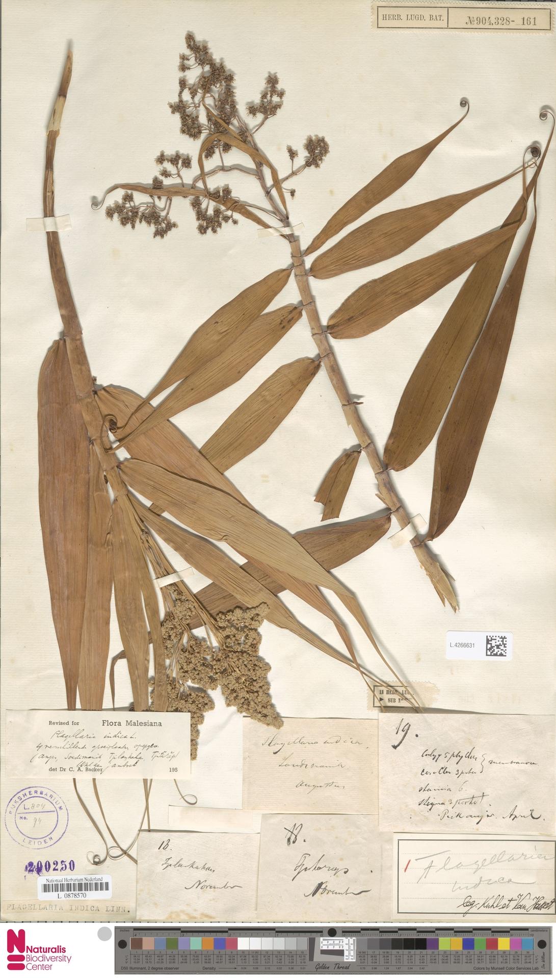 L.4266631 | Flagellaria indica L.