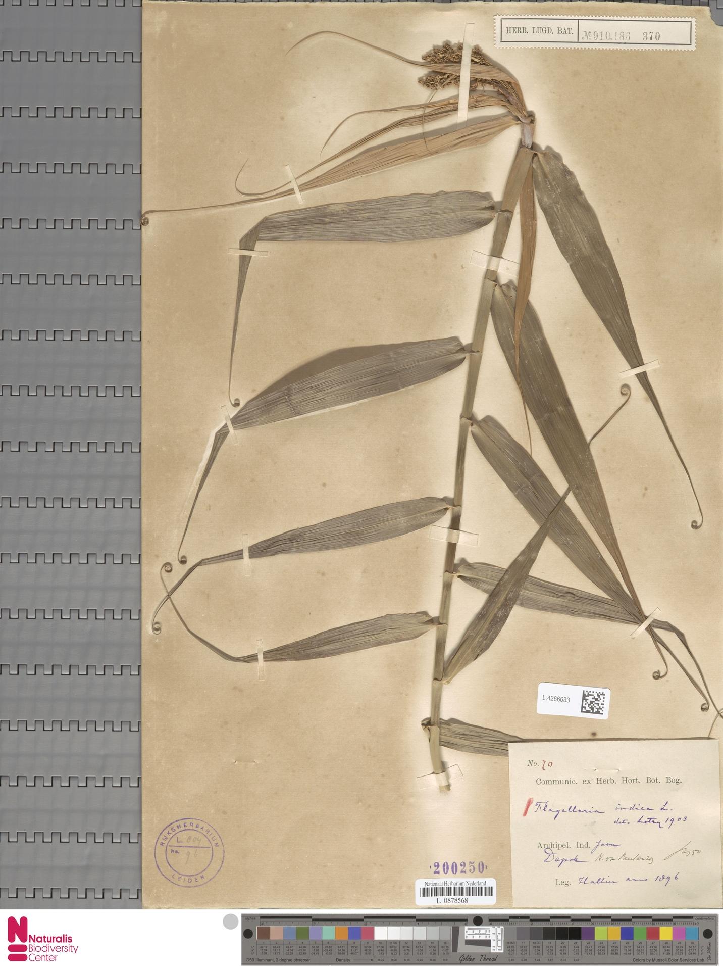 L.4266633 | Flagellaria indica L.