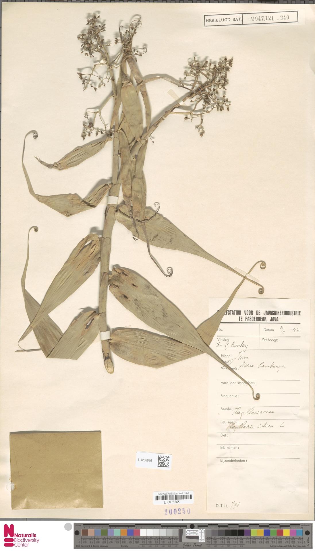 L.4266636 | Flagellaria indica L.