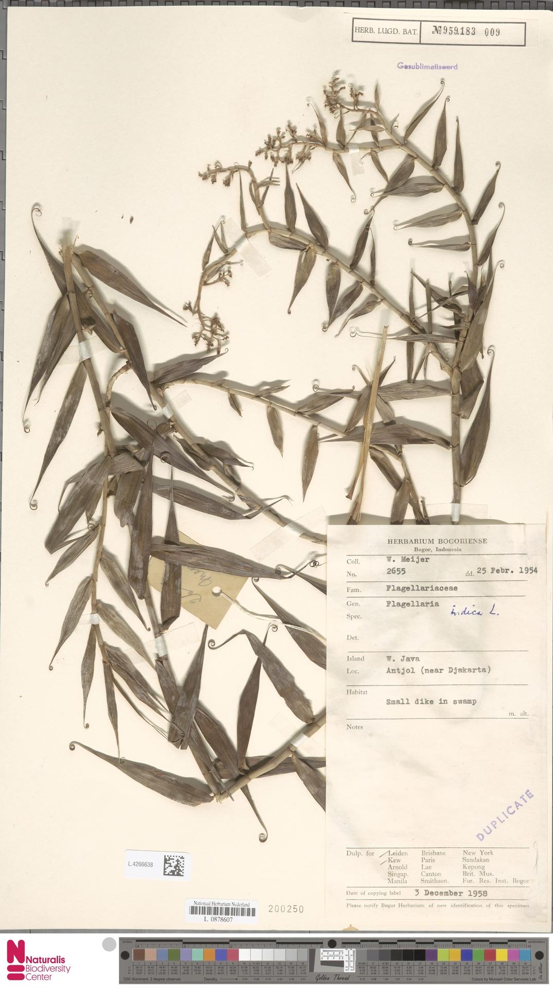 L.4266638 | Flagellaria indica L.