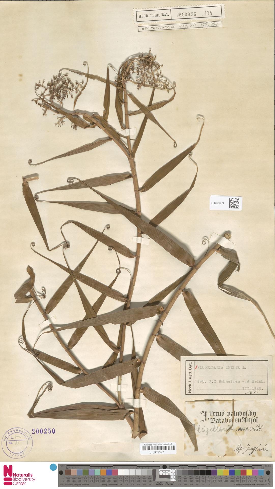 L.4266639 | Flagellaria indica L.