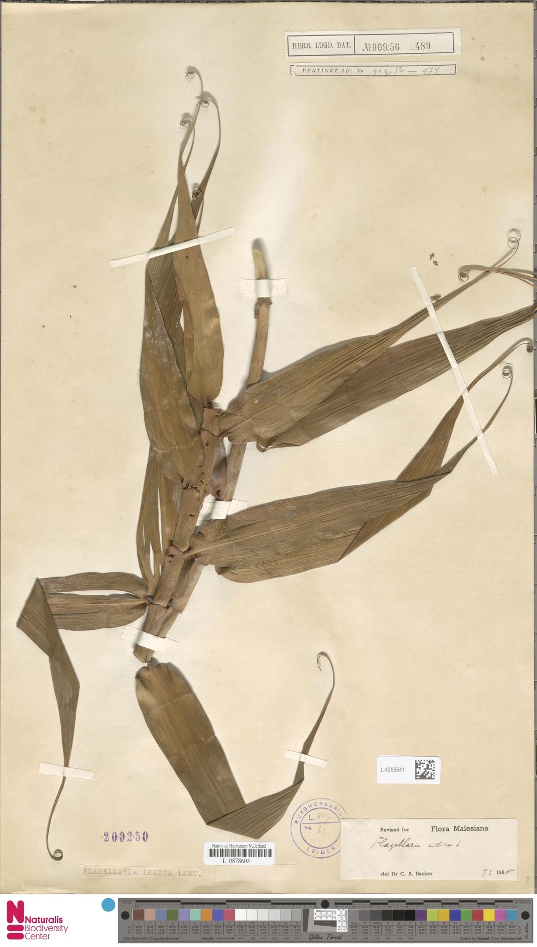 L.4266641 | Flagellaria indica L.