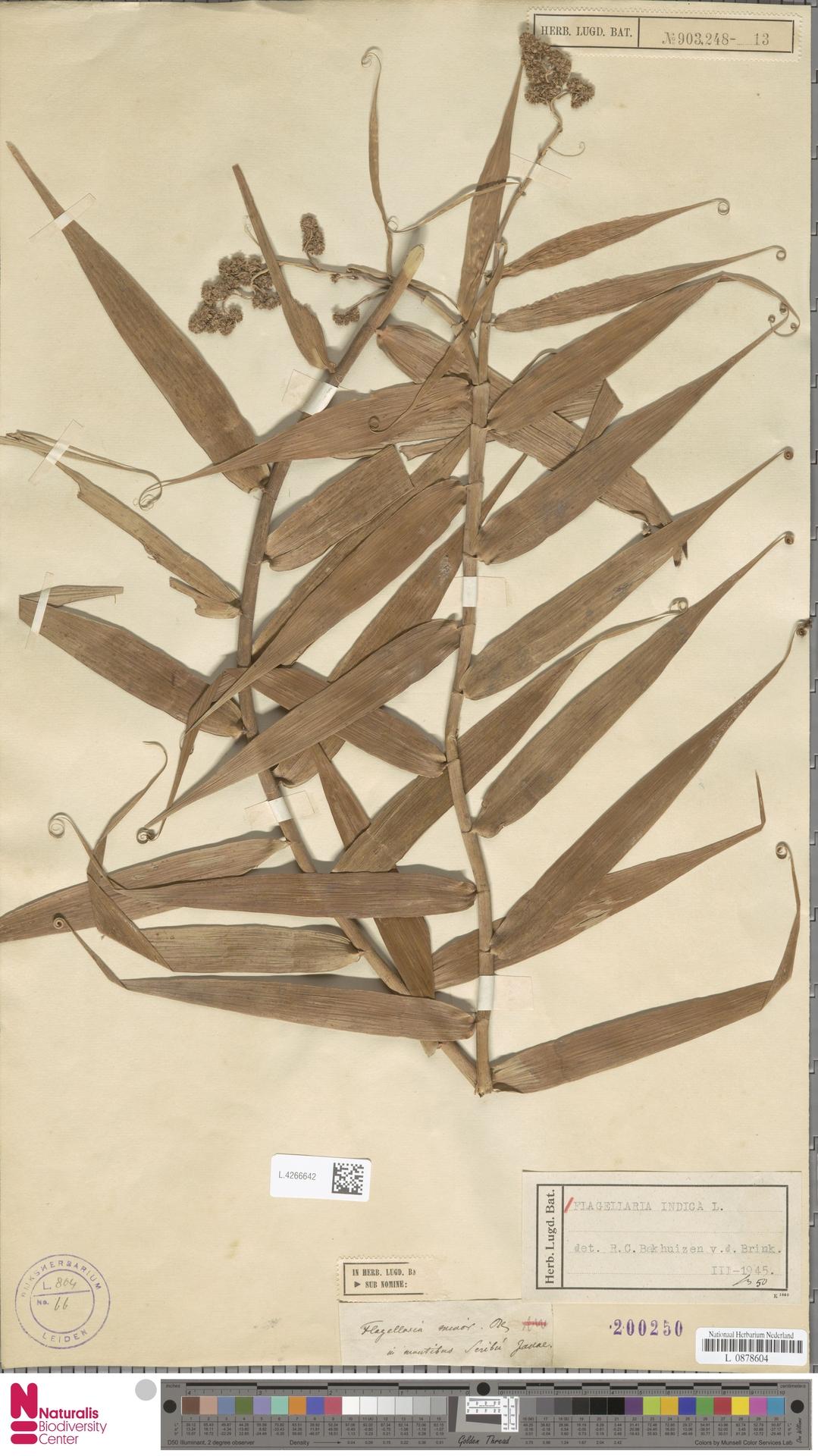 L.4266642 | Flagellaria indica L.