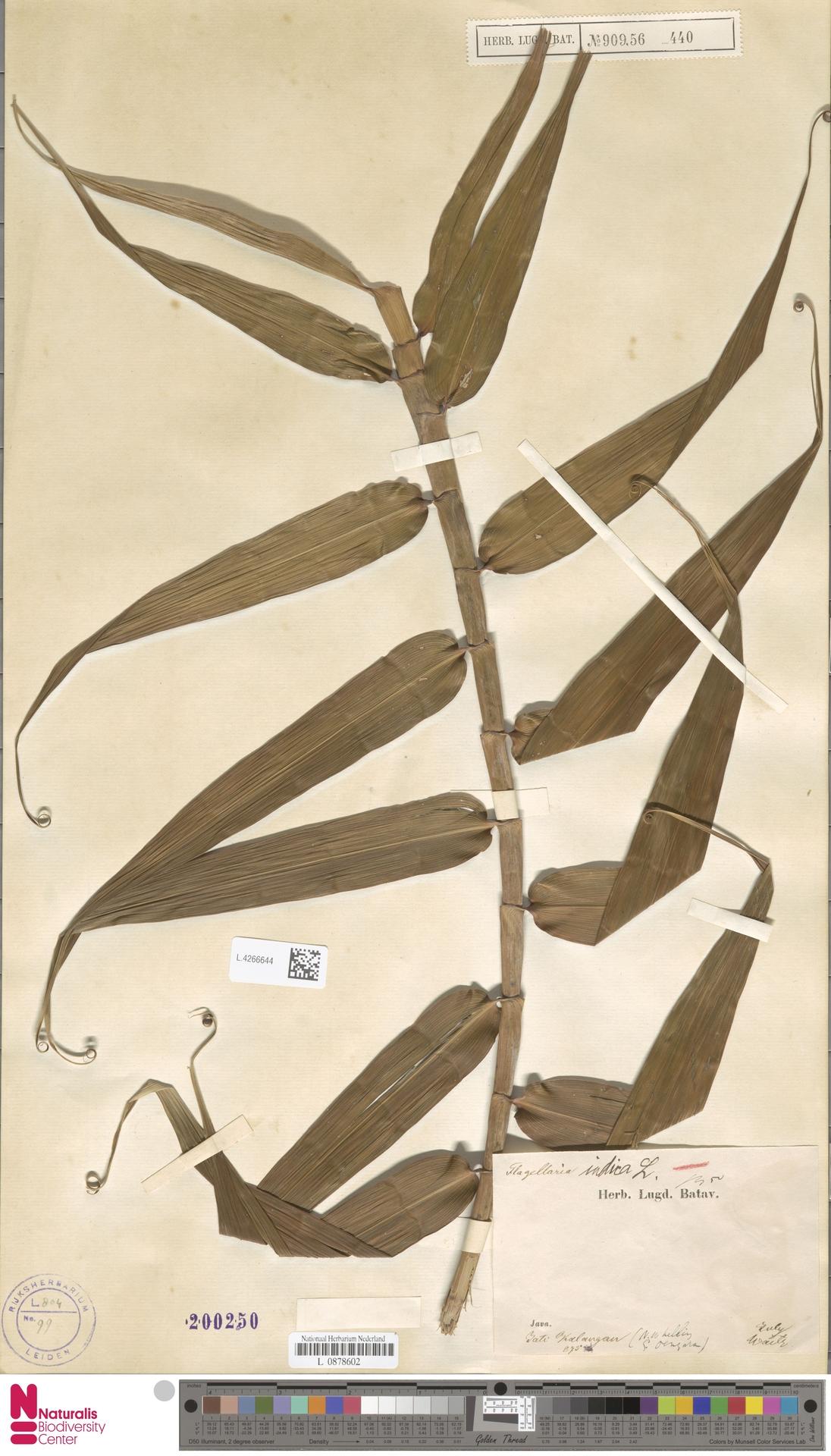 L.4266644 | Flagellaria indica L.