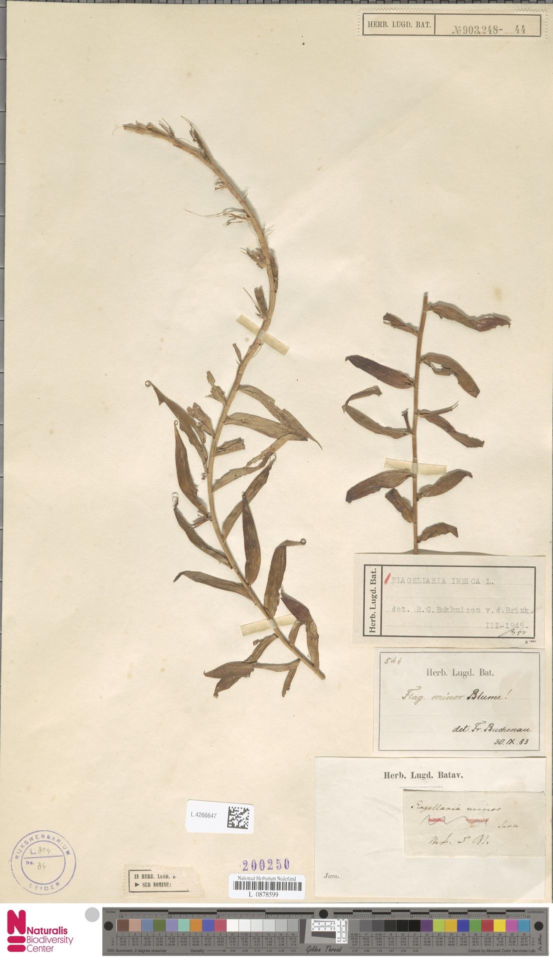 L.4266647 | Flagellaria indica L.