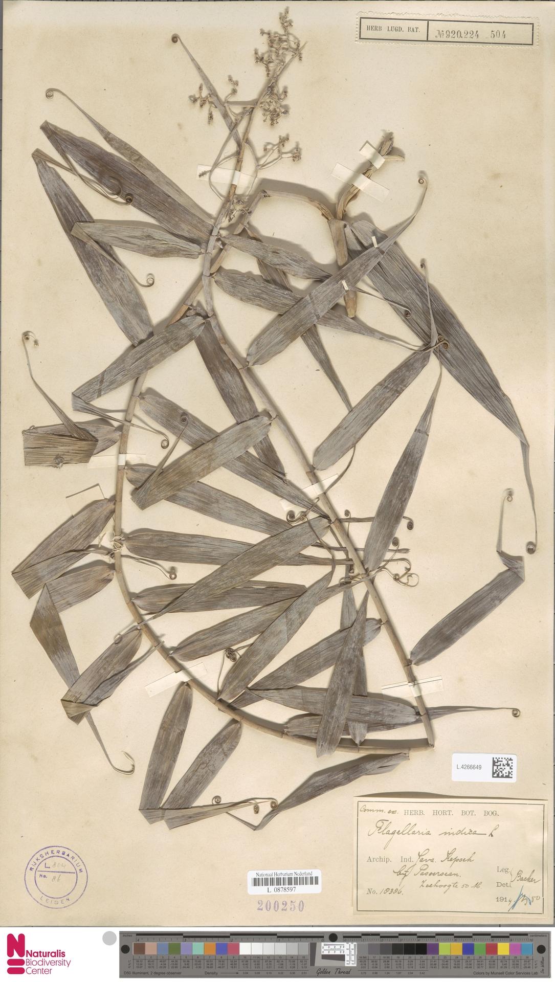 L.4266649 | Flagellaria indica L.