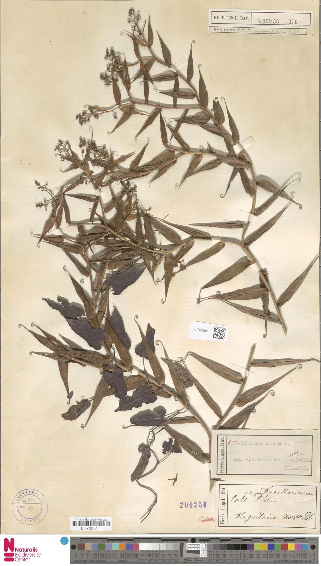 L.4266650 | Flagellaria indica L.