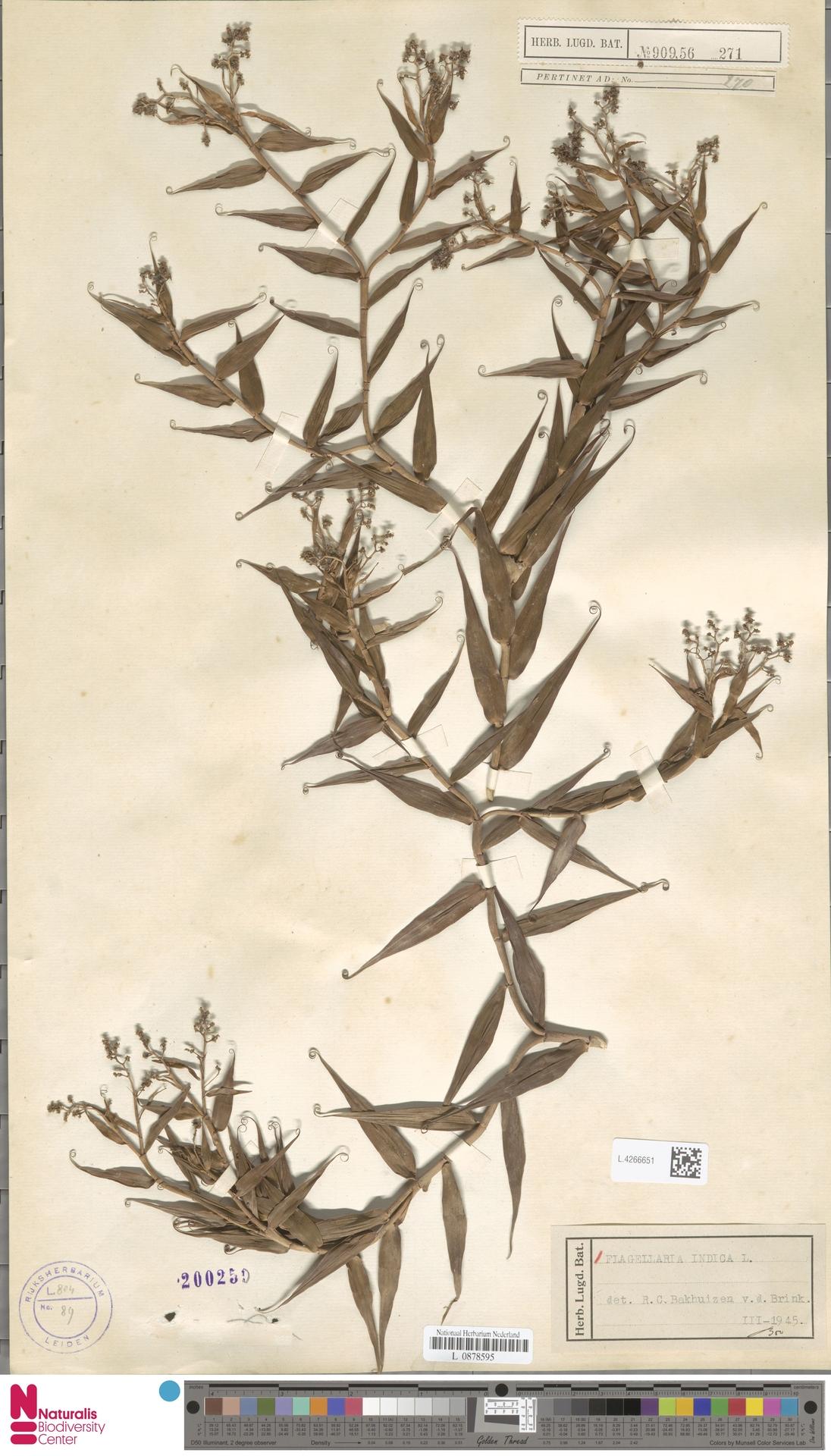 L.4266651 | Flagellaria indica L.