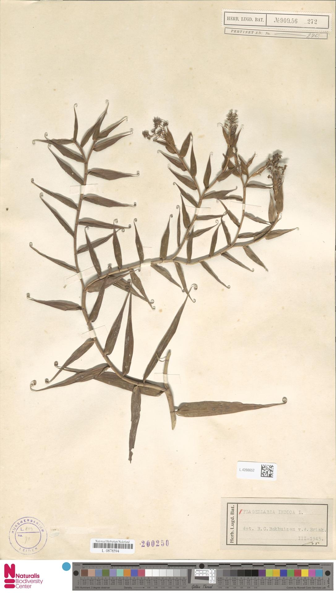 L.4266652 | Flagellaria indica L.