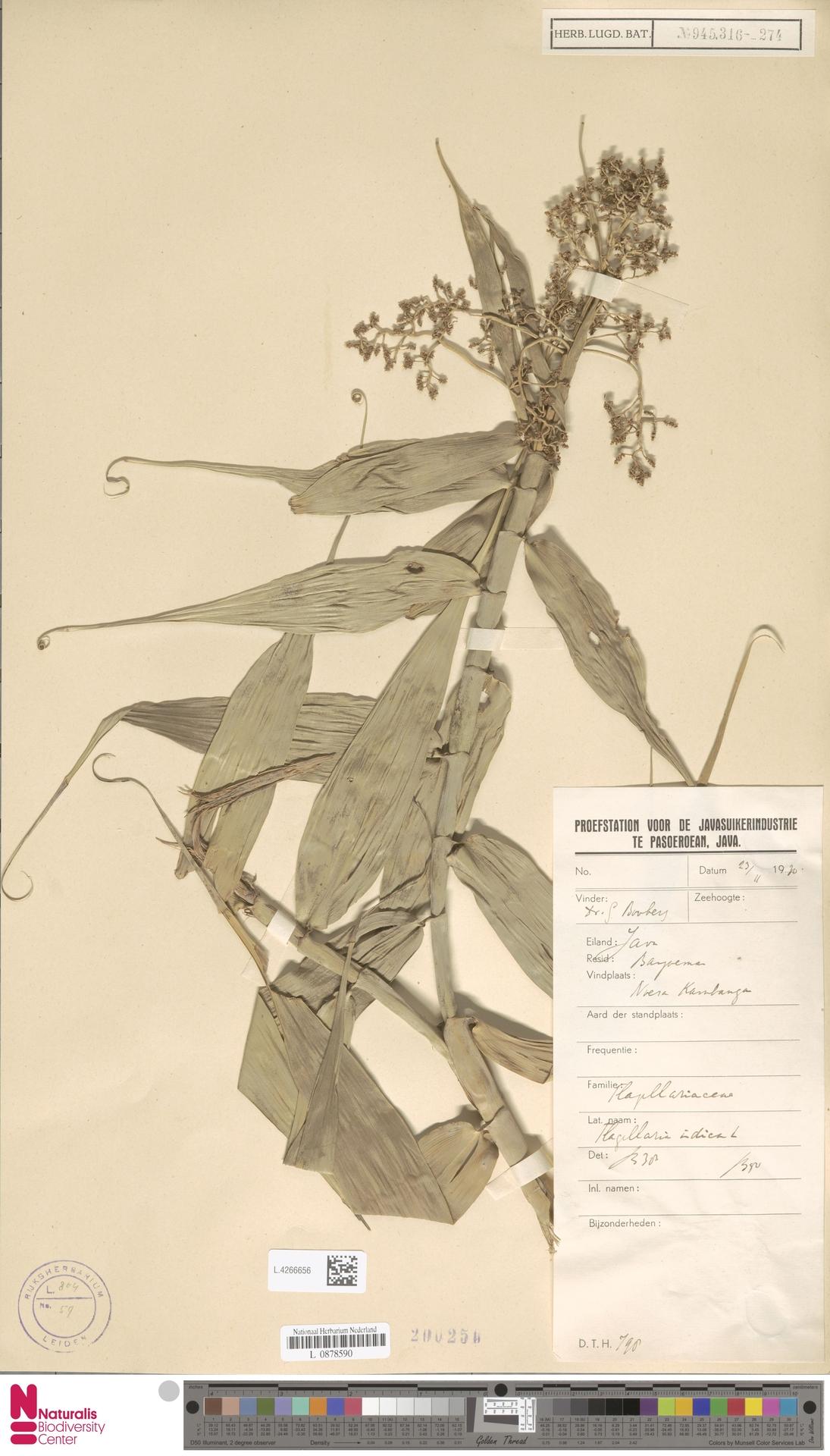 L.4266656 | Flagellaria indica L.