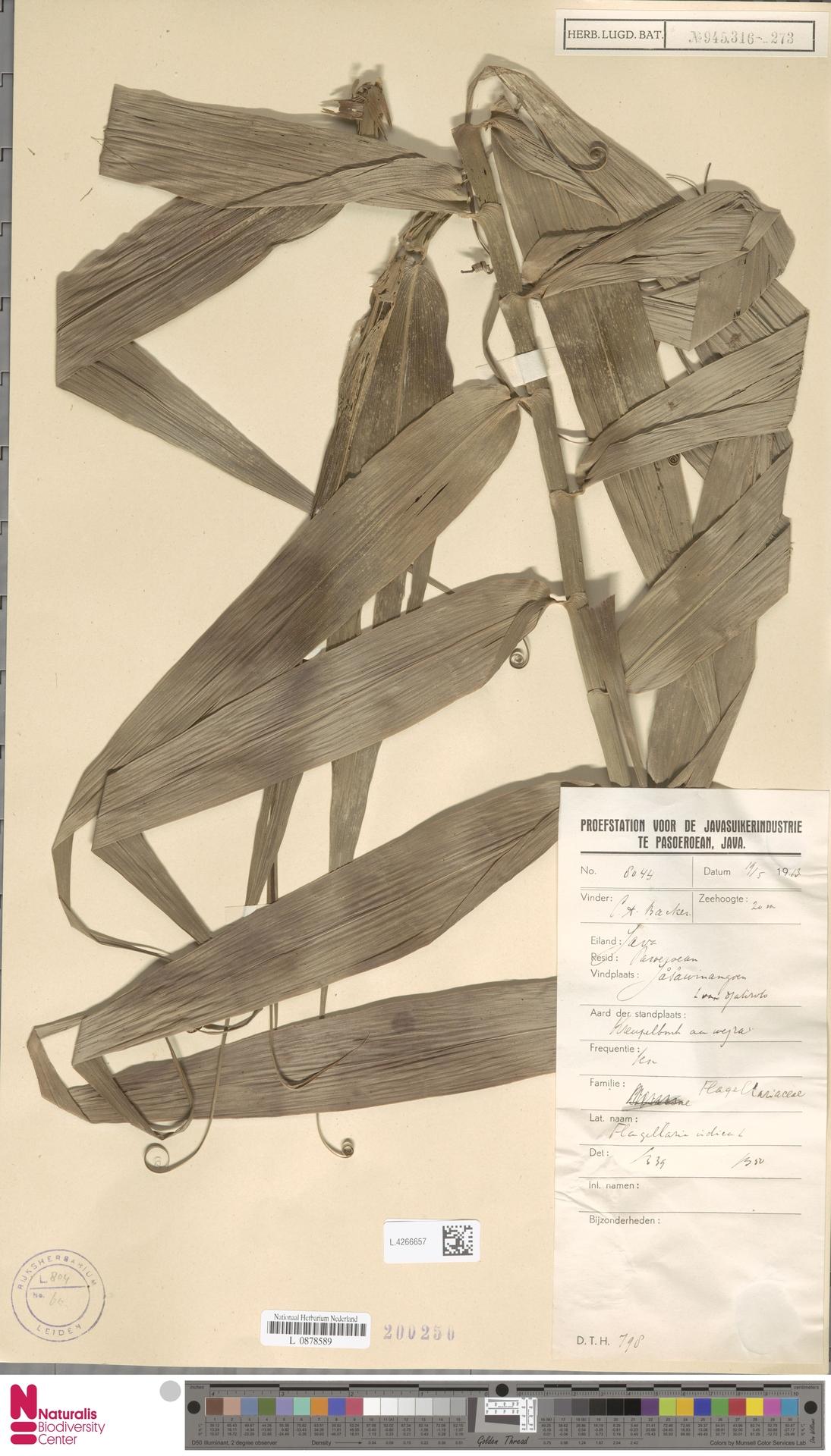L.4266657 | Flagellaria indica L.