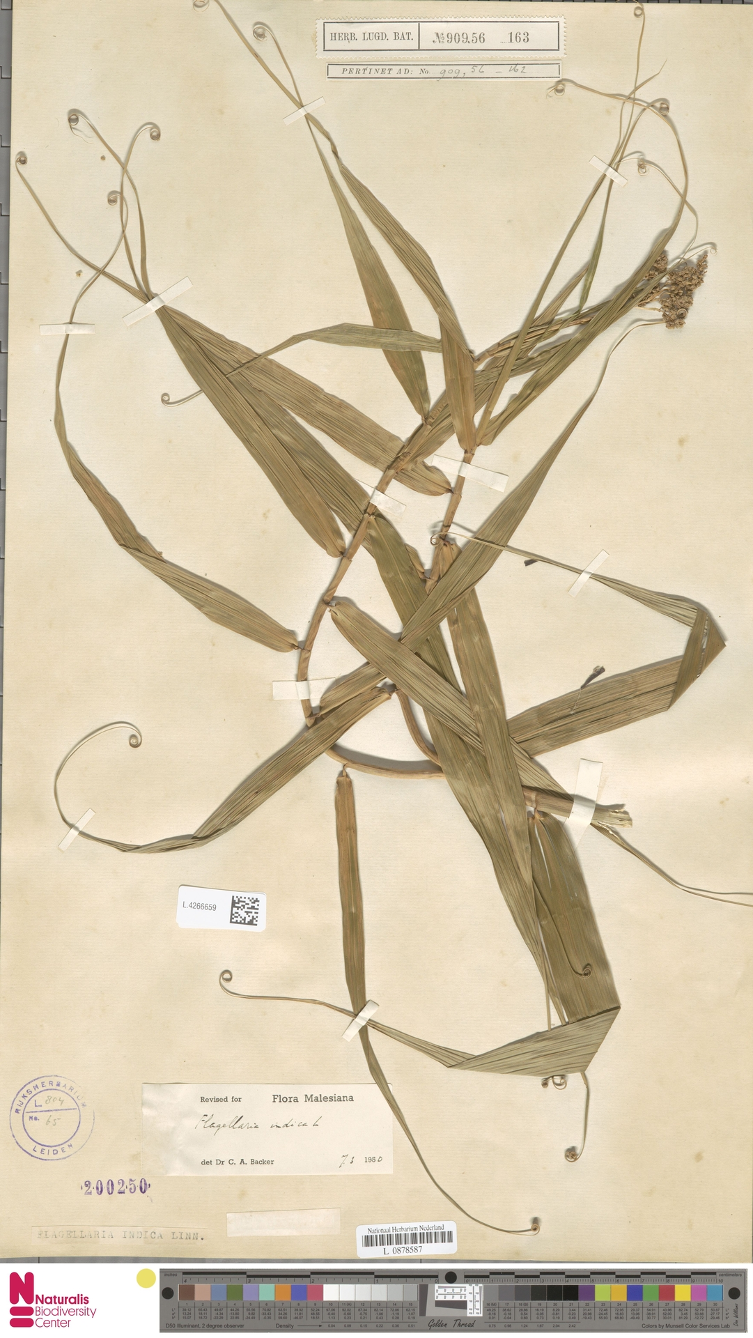 L.4266659 | Flagellaria indica L.