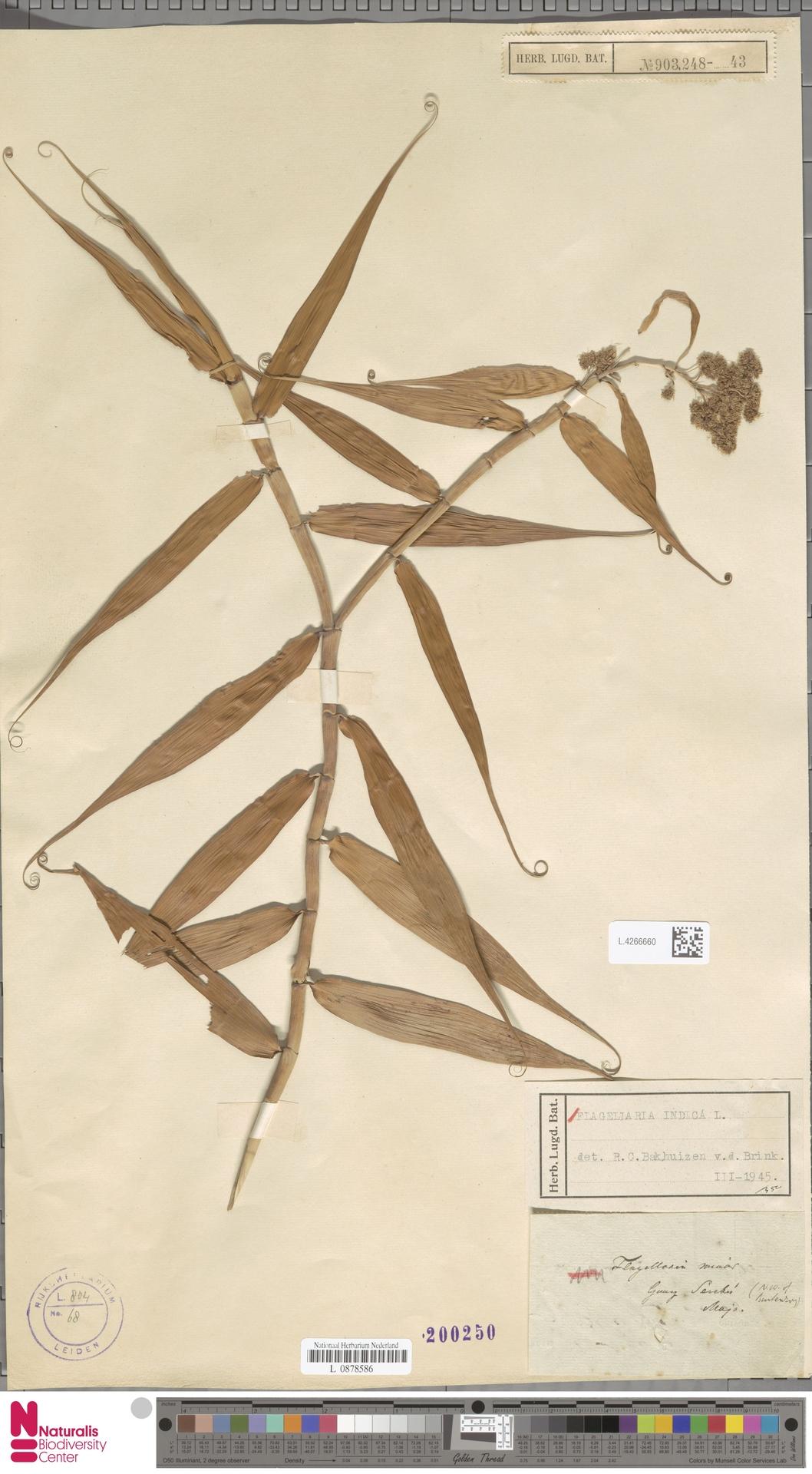 L.4266660 | Flagellaria indica L.