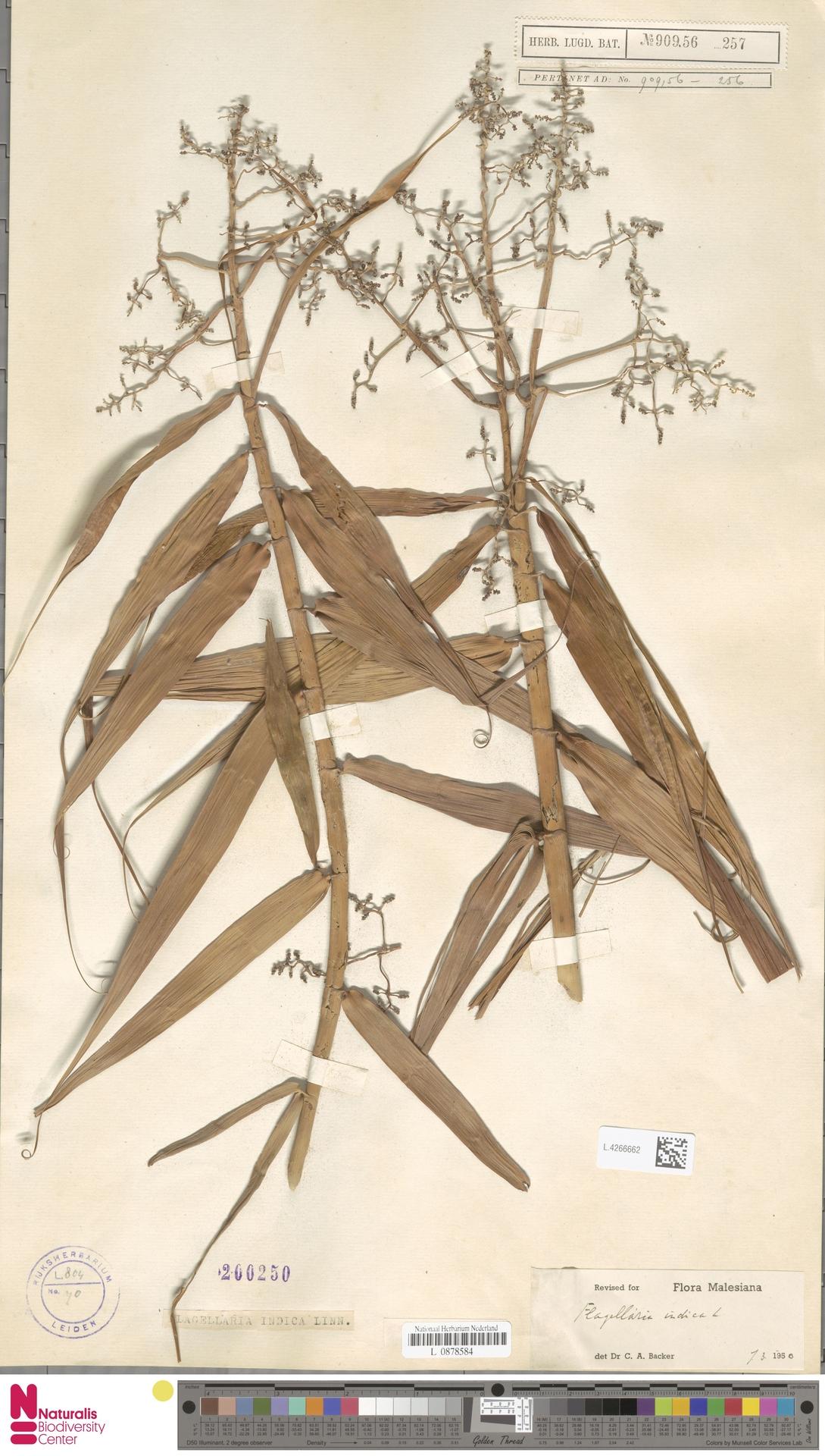 L.4266662 | Flagellaria indica L.