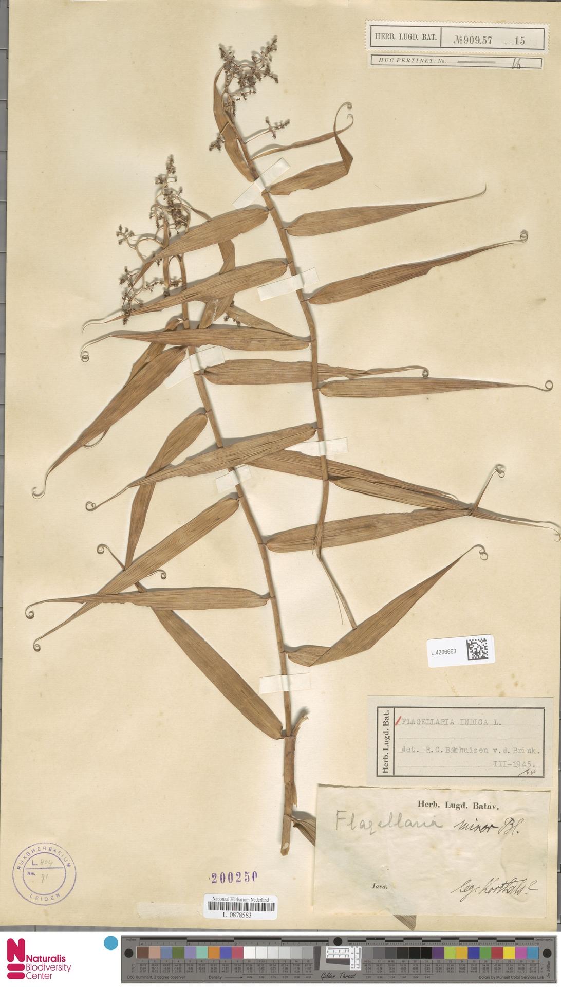L.4266663 | Flagellaria indica L.
