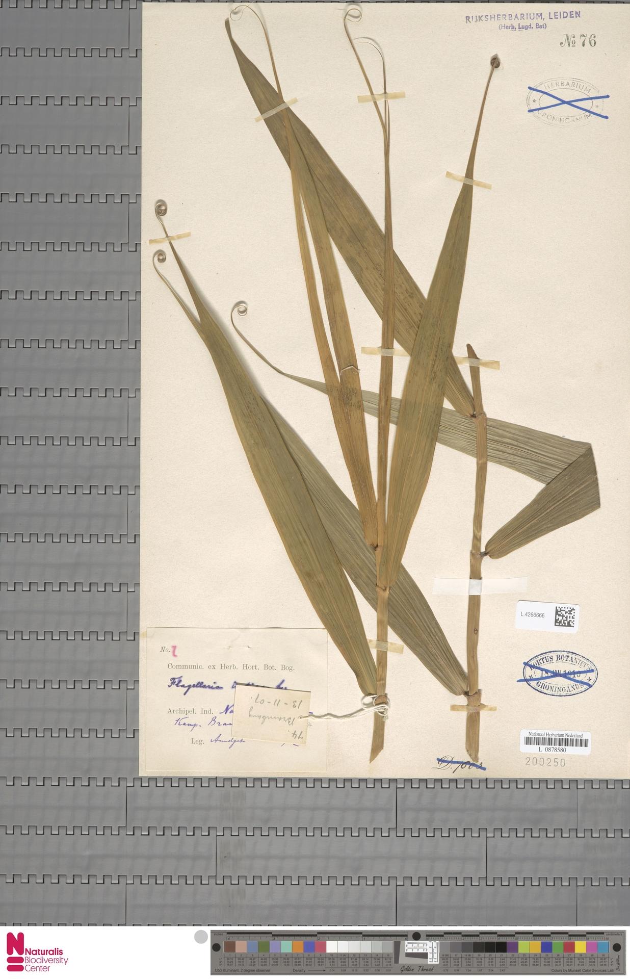 L.4266666 | Flagellaria indica L.