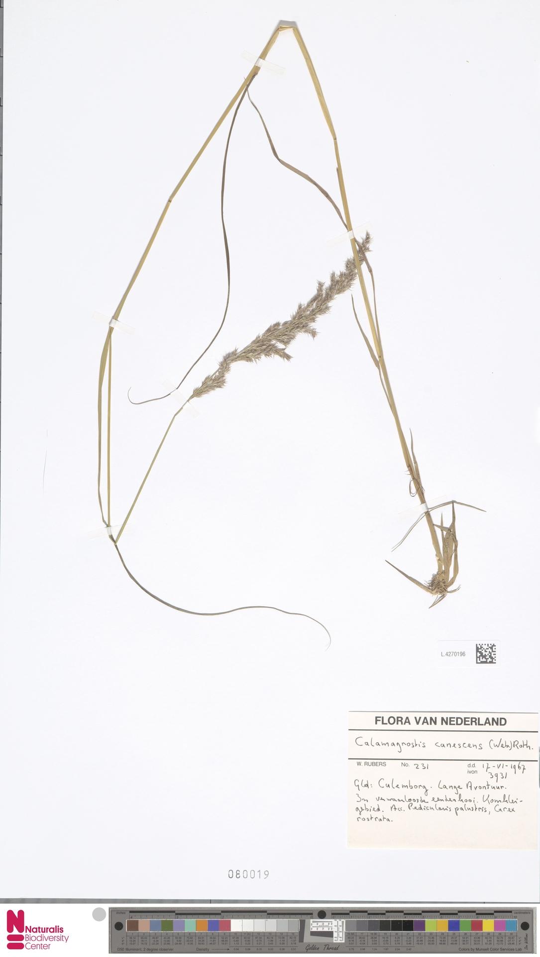 L.4270196 | Calamagrostis canescens (Weber) Roth