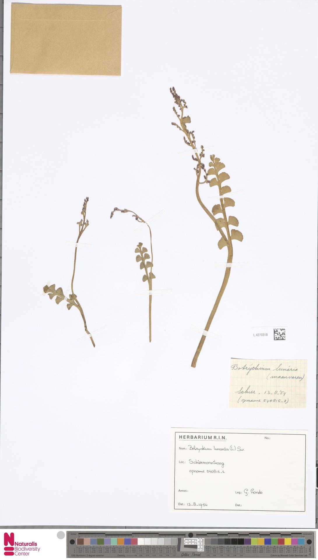 L.4270318 | Botrychium lunaria (L.) Sw.