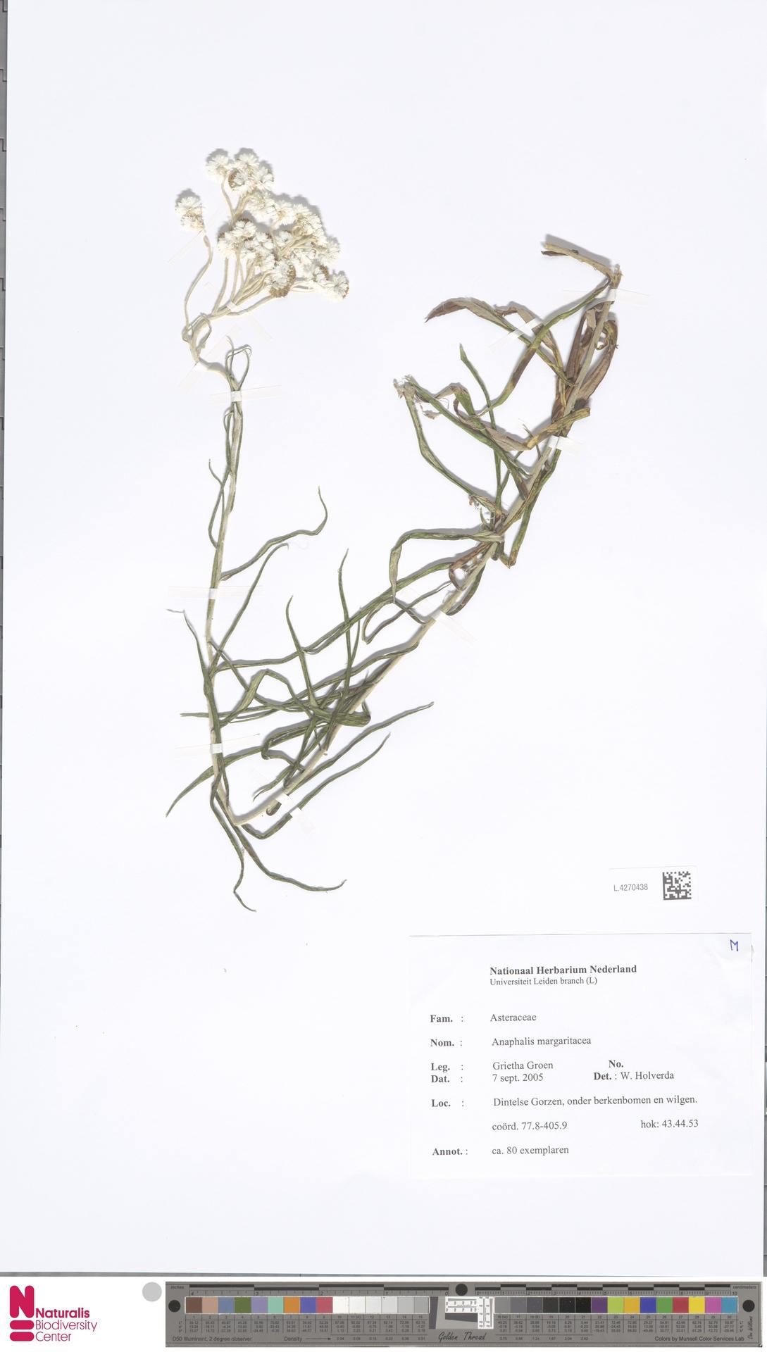 L.4270438 | Anaphalis margaritacea (L.) Benth. & Hook.f.