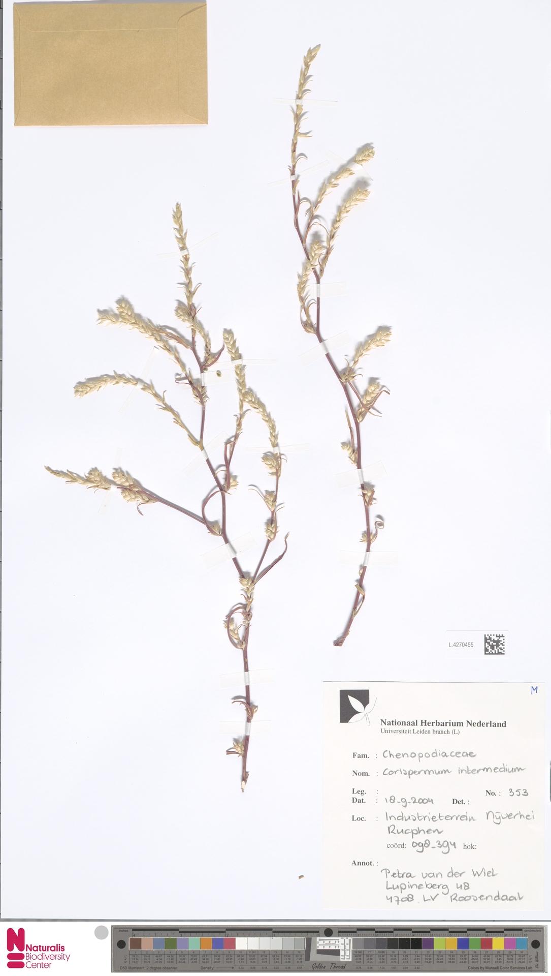 L.4270455 | Corispermum intermedium Schweigg.