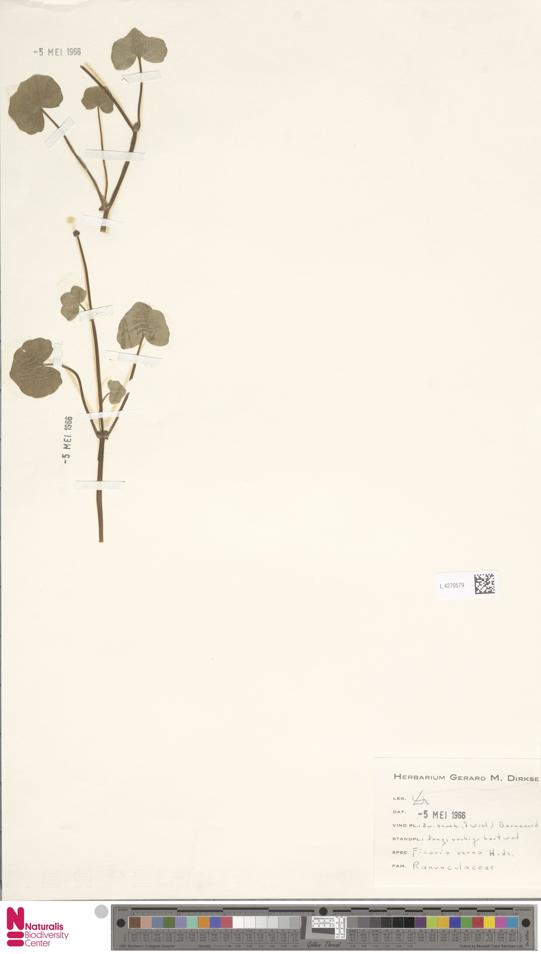 L.4270579 | Ficaria verna Huds.