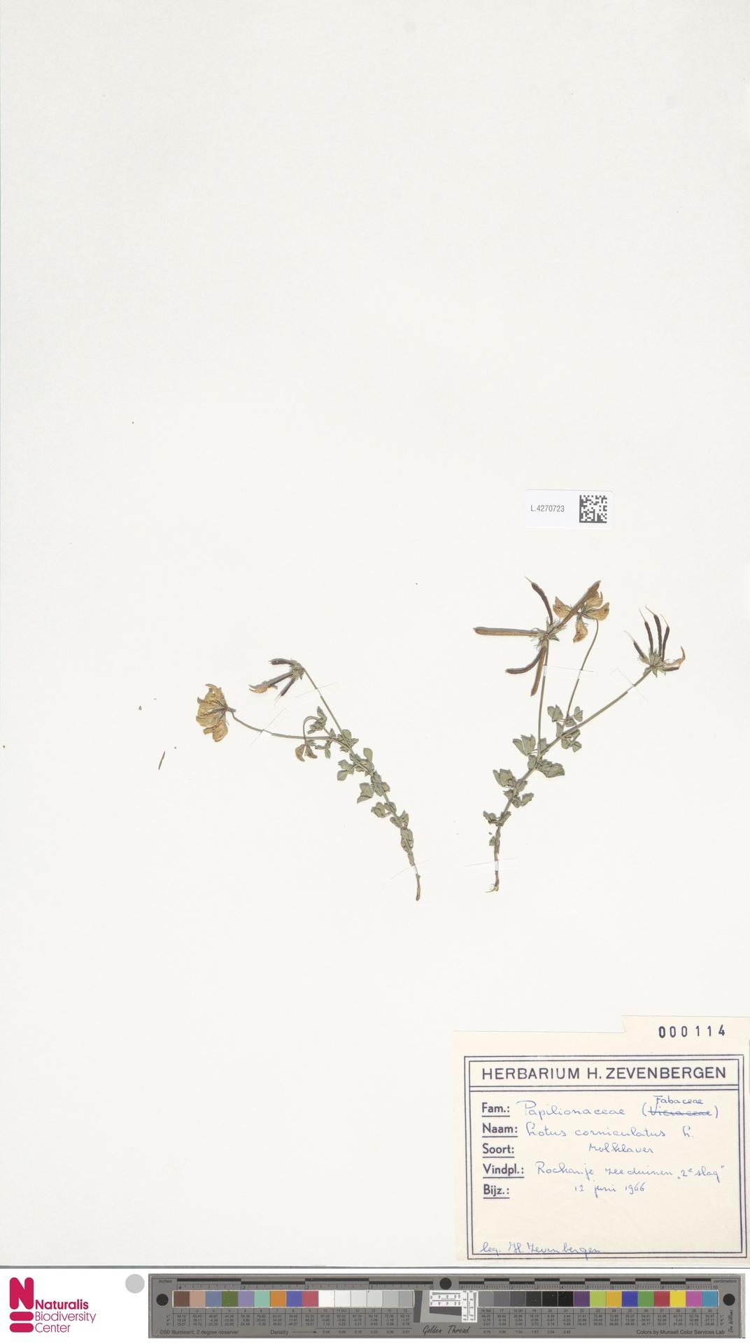 L.4270723 | Lotus corniculatus L.