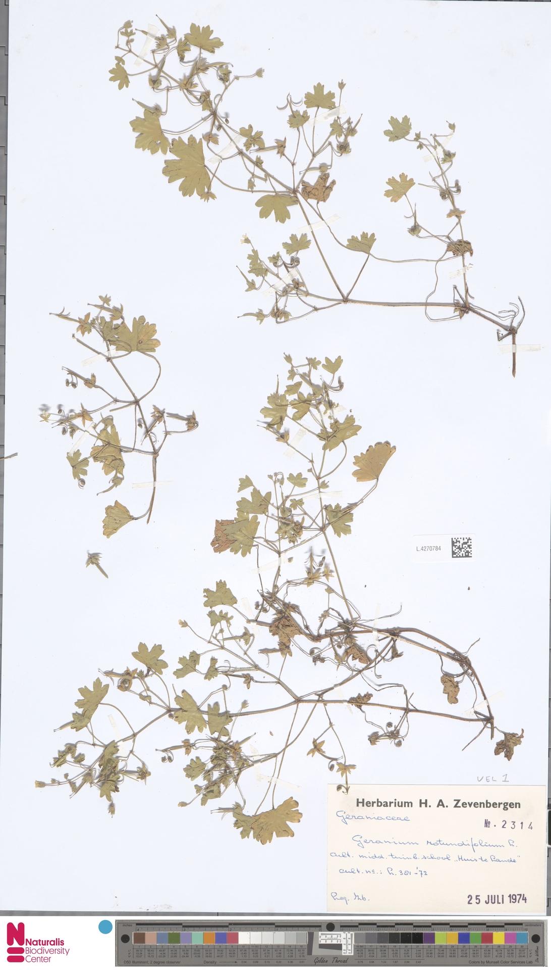 L.4270784 | Geranium rotundifolium L.