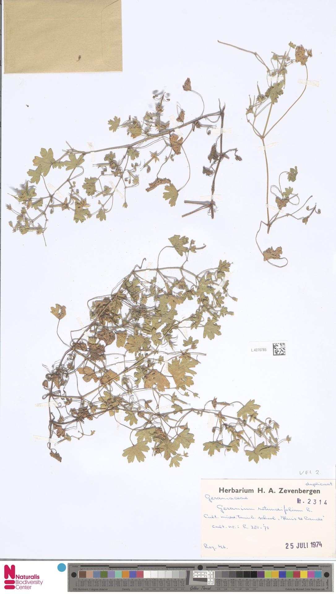 L.4270785 | Geranium rotundifolium L.