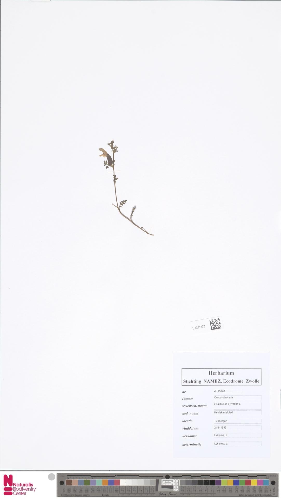 L.4271338 | Pedicularis sylvatica L.