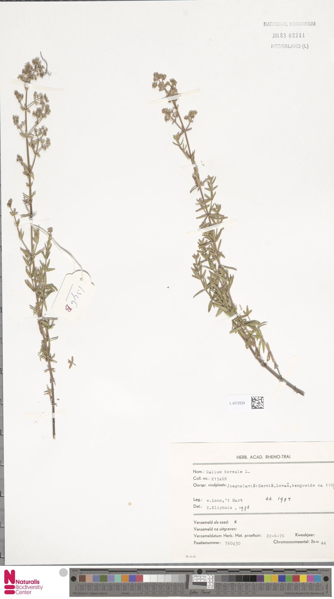 L.4272534   Galium boreale L.