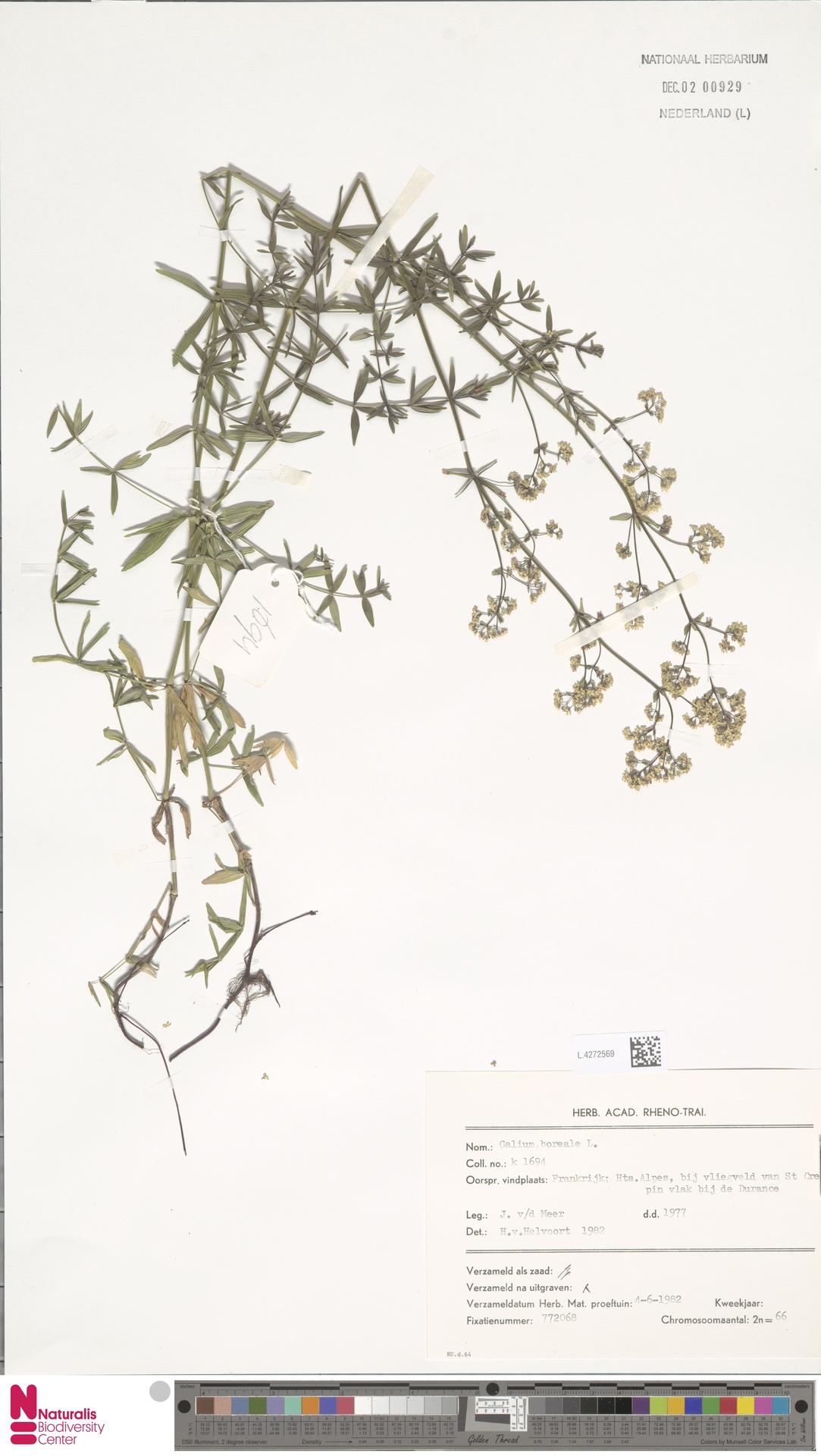 L.4272569 | Galium boreale L.