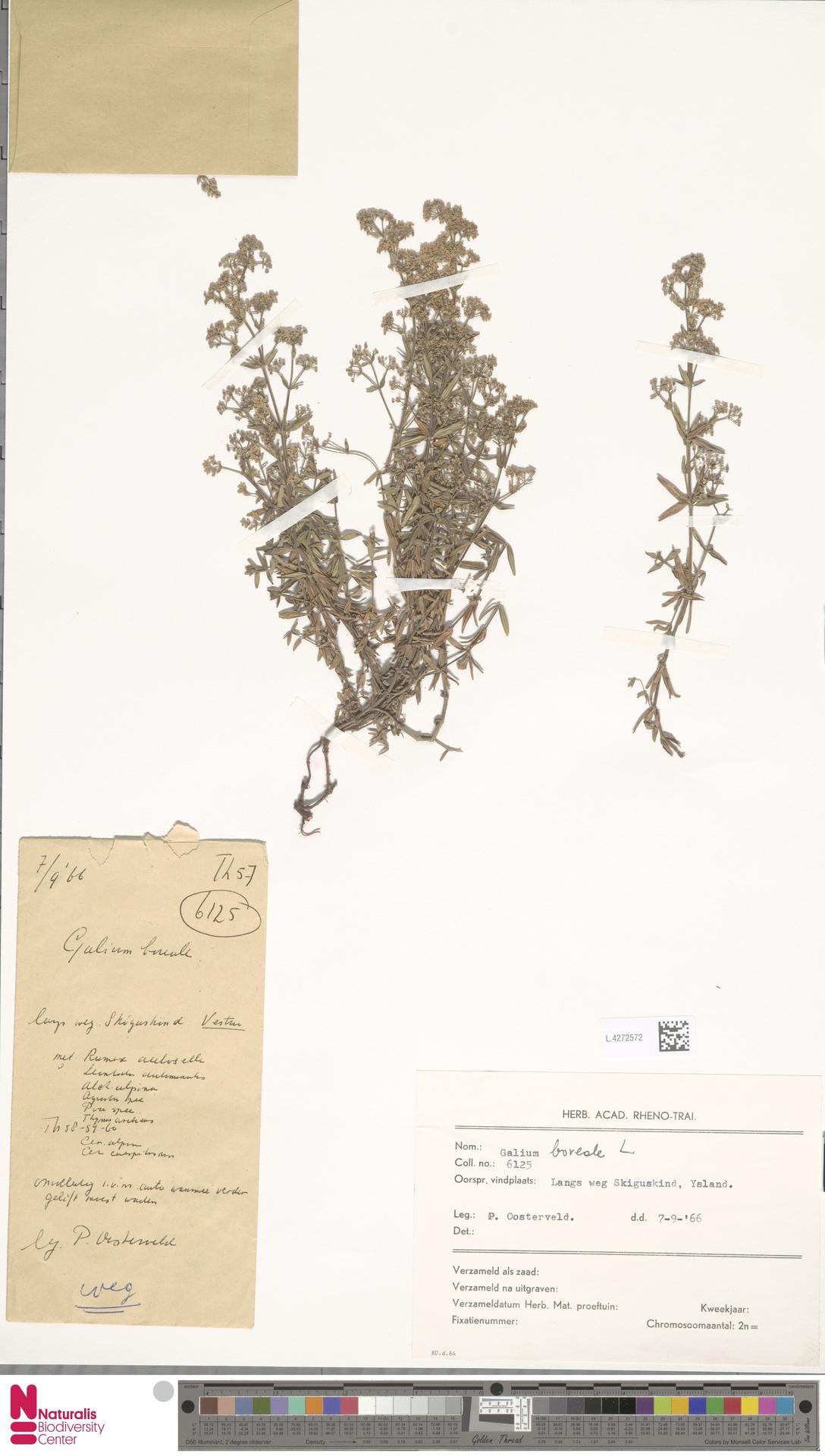 L.4272572 | Galium boreale L.