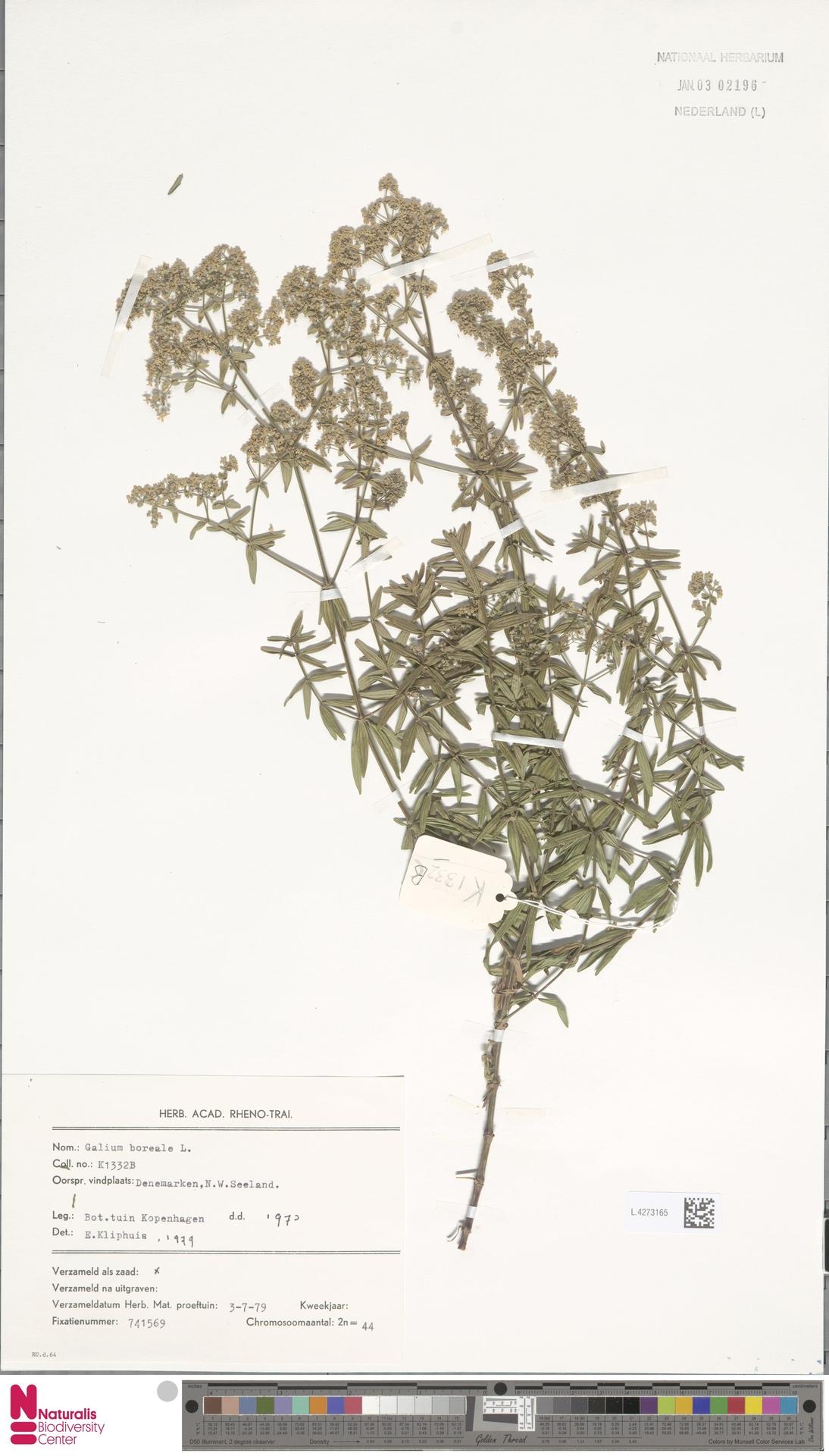 L.4273165 | Galium boreale L.
