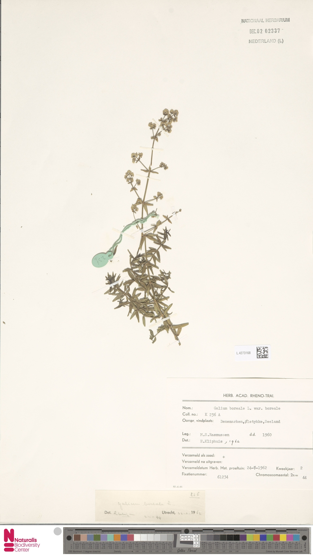 L.4273168 | Galium boreale L.