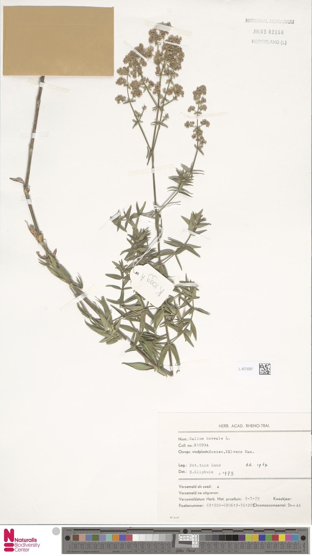 L.4273207 | Galium boreale L.