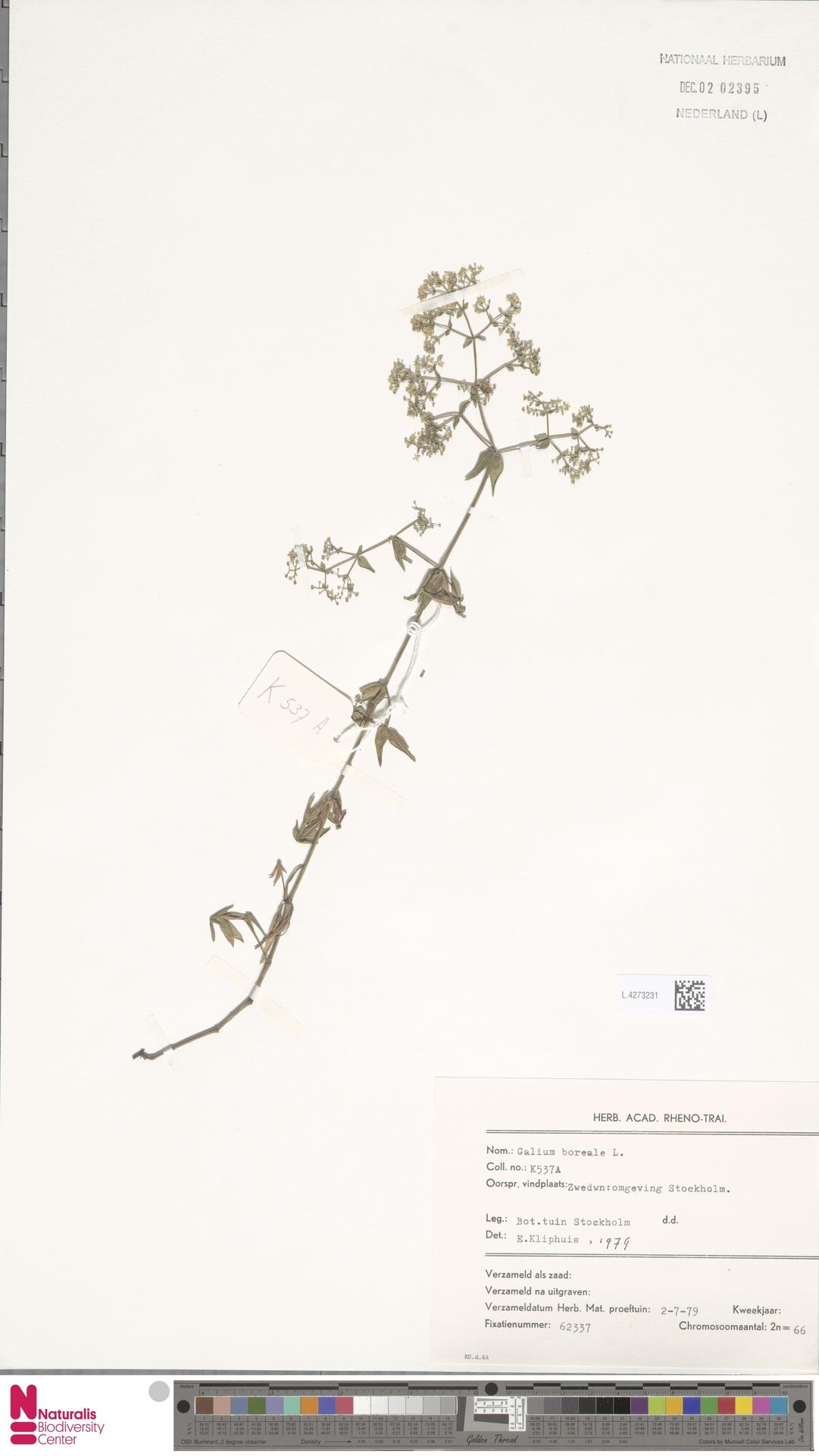 L.4273231   Galium boreale L.