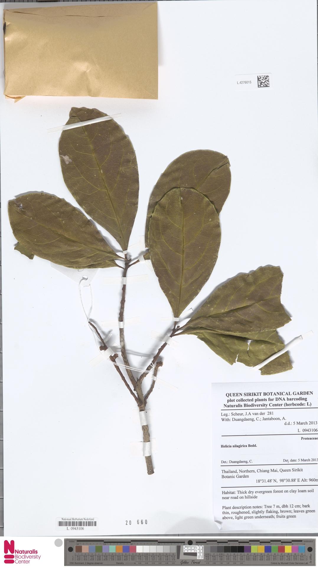 L.4276015 | Helicia nilagirica Bedd.