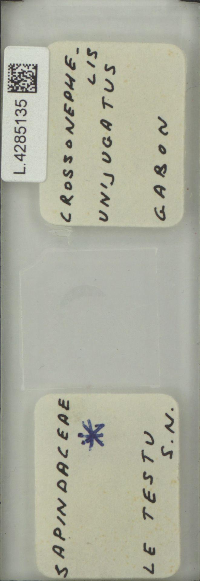 L.4285135 | Crossonephelis unijugatus (Pellegr.) Leenh.