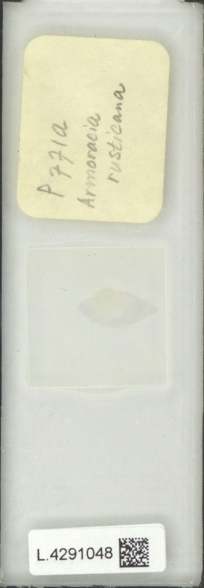 L.4291048 | Armoracia rusticana G.Gaertn., B.Mey. & Schreb.