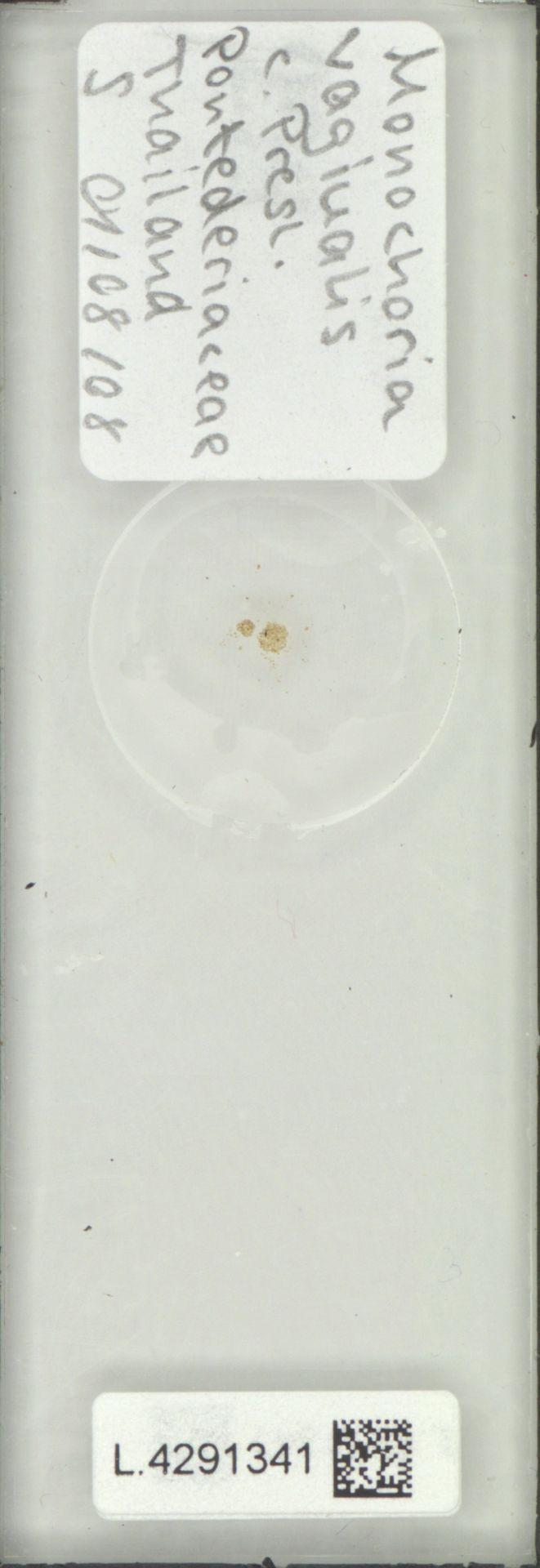 L.4291341 | Monochoria vaginalis (Burm.f.) Presley