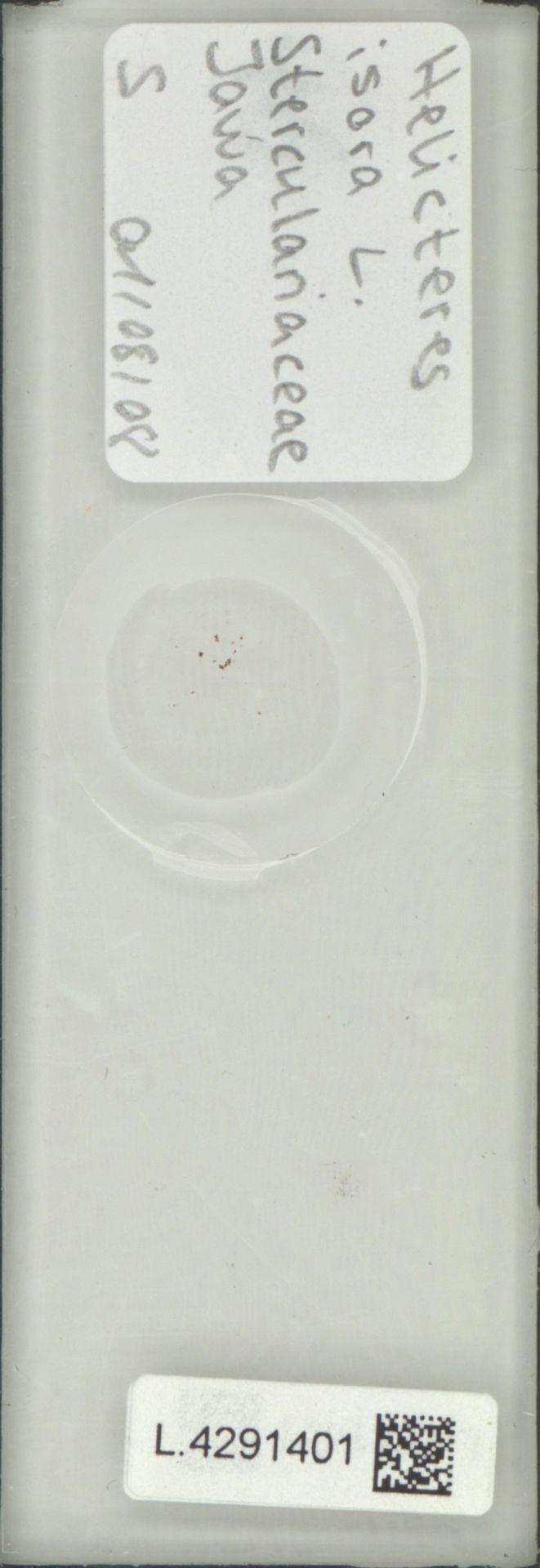 L.4291401 | Helicteres isora L.