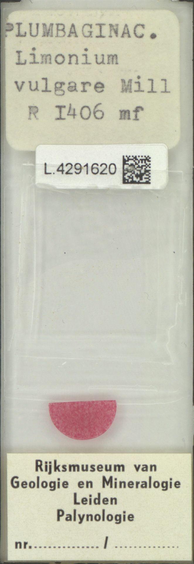 L.4291620 | Limonium vulgare Mill.
