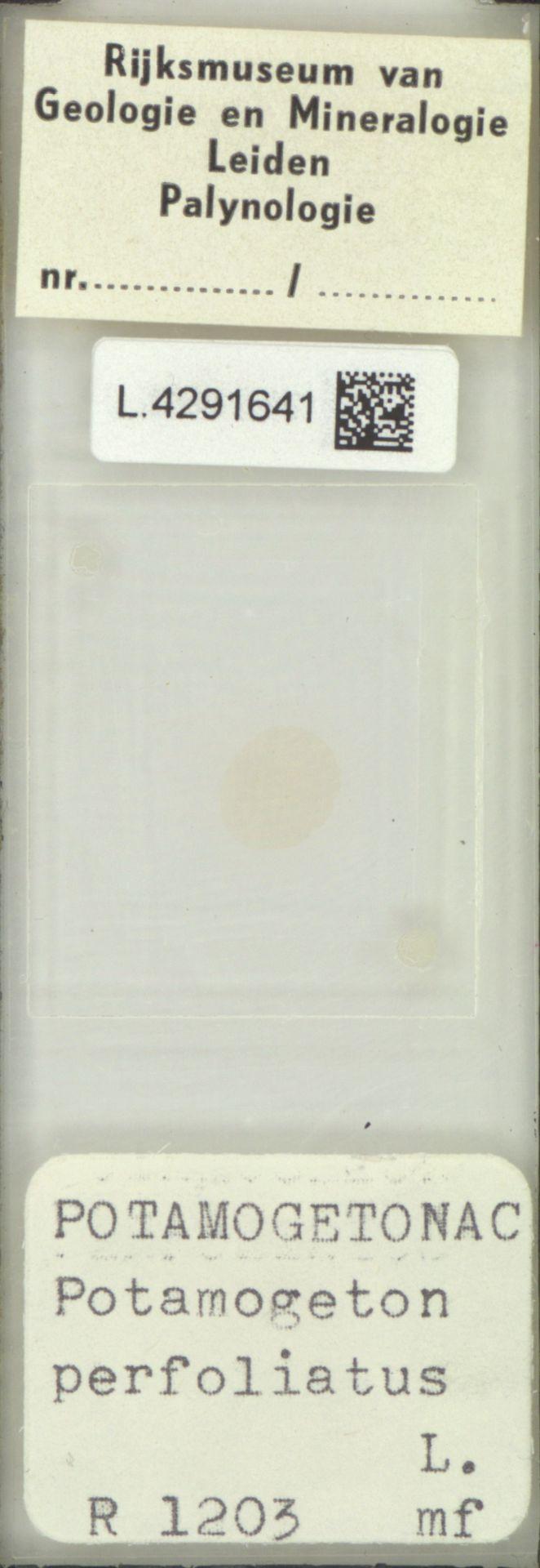 L.4291641 | Potamogeton perfoliatus L.