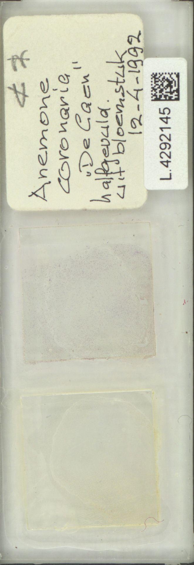 L.4292145 | Anemone coronaria L.