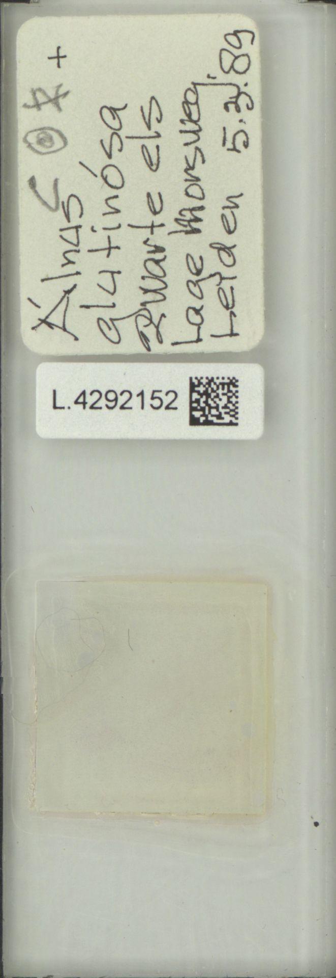 L.4292152 | Alnus glutinosa (L.) Gaertn.