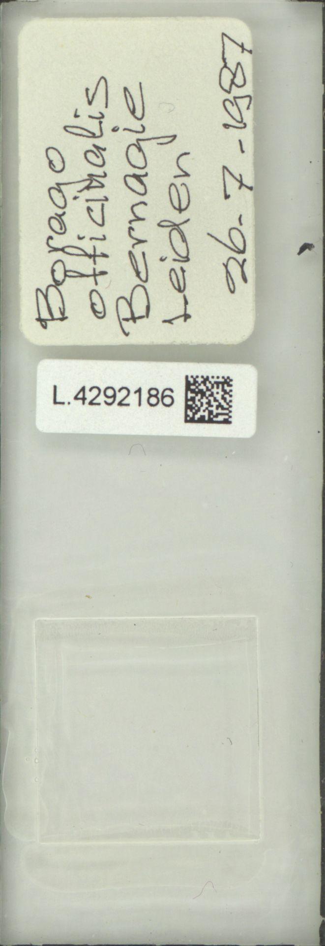L.4292186 | Borago officinalis L.