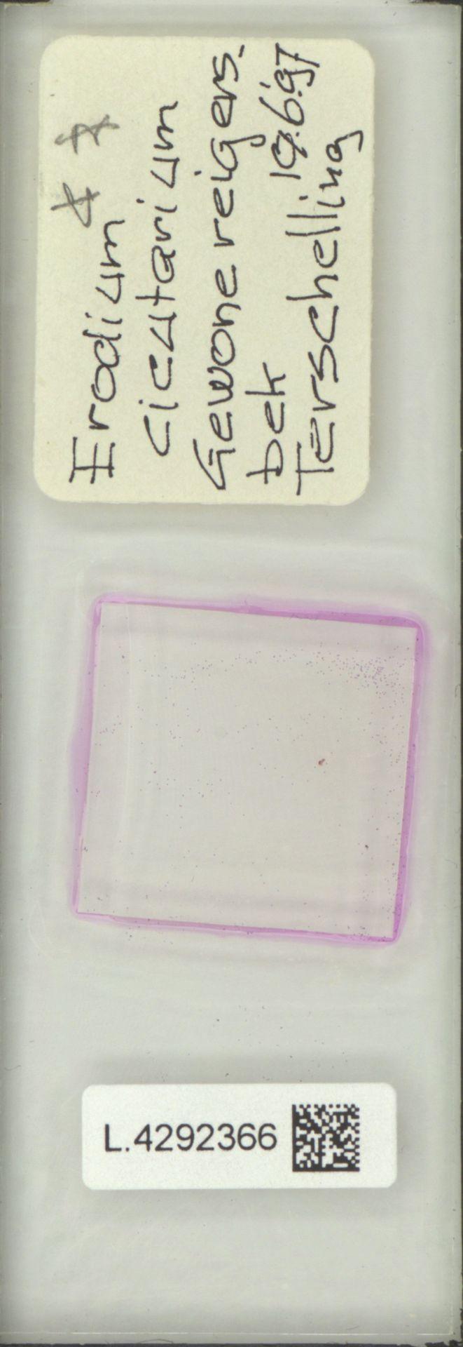 L.4292366 | Erodium cicutarium (L.) L'Hér.