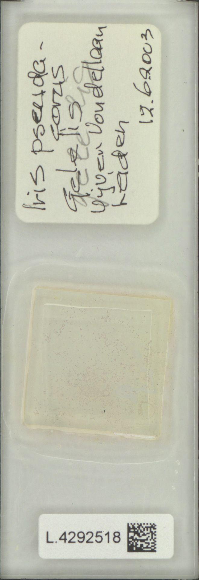 L.4292518 | Iris pseudacorus L.